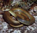 В Крыму город Саки подвергся беспрецедентному нашествию змей.